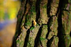 Schließen Sie herauf eine alte Baumrinde mit einem gelben Blatt und grünem Moos auf einem Hintergrund des Herbstwaldes Lizenzfreie Stockbilder