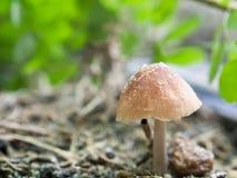 Schließen Sie herauf einen kleinen braunen Pilz Lizenzfreies Stockbild