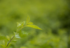 Schließen Sie herauf fesh Grünteeblätter mit Morgenaufflackern Lizenzfreies Stockbild