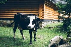 Schließen Sie herauf Foto der Kuh mit Glocke stockfotografie
