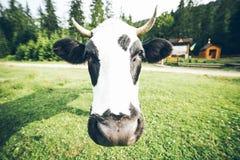 Schließen Sie herauf Foto der Kuh mit Glocke lizenzfreie stockfotografie