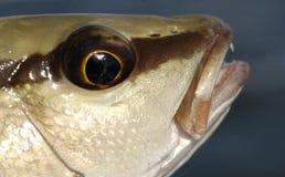Schließen Sie herauf Foto der Mangrove-Rotbarschfische Stockbild
