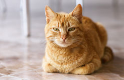 Schließen Sie herauf Foto der roten Katze mit grünen Augen Stockfotos