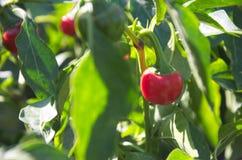 Schließen Sie herauf Foto des gerundeten glühenden Paprikapfeffers rohes würziges Gemüse Stockfotos