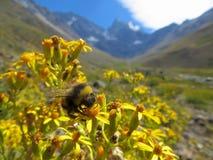 Schließen Sie herauf Foto einer Biene mit Bergen hinter ihr Stockbilder