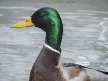 Schließen Sie herauf Foto einer Ente stockfoto