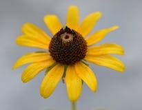 Schließen Sie herauf Foto eines gelben und braunen Wildflower gegen einen bewölkten grauen Himmel Lizenzfreie Stockfotografie
