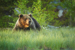 Schließen Sie herauf Foto eines wilden, großen Braunbären, Ursus arctos, Mann in blühendem Gras Stockbilder