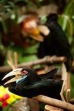 Schließen Sie herauf Frau von Wreathed Hornbill im Zoo stockbild