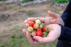 Schließen Sie herauf Frauenhand mit frischer Erdbeere Stockfoto