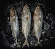 Schließen Sie herauf frische Makrelenfische im Eis auf dunklem Hintergrund, Meeresfrüchtemarkt Lizenzfreie Stockfotos