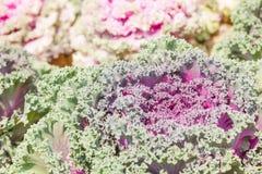 Schließen Sie herauf frische Pflanzenblätter des Kohls (Brassica Oleracea) Lizenzfreie Stockfotos