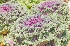 Schließen Sie herauf frische Pflanzenblätter des Kohls (Brassica Oleracea) Lizenzfreie Stockfotografie