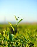 Schließen Sie herauf frische Teeblätter im Morgentageslicht. Stockfotografie