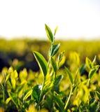 Schließen Sie herauf frische Teeblätter im Morgentageslicht. Lizenzfreies Stockbild