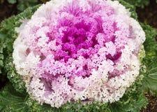 Schließen Sie herauf frische violette Pflanzenblätter des Kohls (Brassica Oleracea) Stockfotos