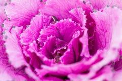 Schließen Sie herauf frische violette Pflanzenblätter des Kohls (Brassica Oleracea) Lizenzfreie Stockfotografie