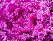 Schließen Sie herauf frische violette Pflanzenblätter des Kohls (Brassica Oleracea) Lizenzfreie Stockfotos