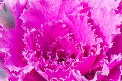 Schließen Sie herauf frische violette Pflanzenblätter des Kohls (Brassica Oleracea) Stockbilder