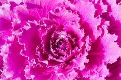 Schließen Sie herauf frische violette Pflanzenblätter des Kohls (Brassica Oleracea) Lizenzfreies Stockfoto