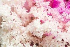 Schließen Sie herauf frische violette Pflanzenblätter des Kohls (Brassica Oleracea) Stockfotografie