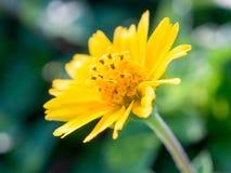 Schließen Sie herauf Gänseblümchenblume Lizenzfreie Stockfotografie