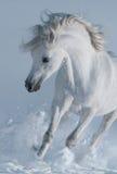 Schließen Sie herauf galoppierende weiße Hengste im Schnee Stockfotos