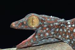 Schließen Sie herauf Gecko lizenzfreie stockfotografie