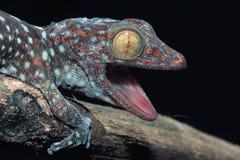 Schließen Sie herauf Gecko lizenzfreie stockfotos