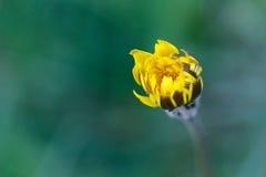 Schließen Sie herauf gelbe Blume Stockbilder