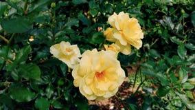 Schließen Sie herauf gelbe Blume im Garten Lizenzfreies Stockfoto