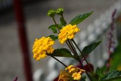 Schließen Sie herauf gelbe Blume im Garten und im beuty grünen Blatt lizenzfreie stockbilder