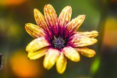 Schließen Sie herauf gelbe Blume mit Regentropfen auf Blumenblättern, Sommerzeit Stockfotografie