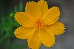 Schließen Sie herauf gelbe Kosmosblume Stockfotografie