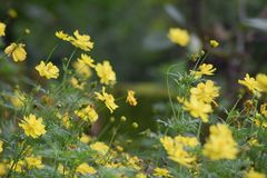 Schließen Sie herauf gelbe Kosmosblume stockbilder