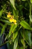 Schließen Sie herauf gelbe Orchideen auf grünem Hintergrund Lizenzfreie Stockbilder