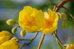 Schließen Sie herauf gelbe silk Baumwollbaumblumen Tropische Blume des Adenium Lizenzfreie Stockfotografie