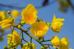 Schließen Sie herauf gelbe silk Baumwollbaumblumen Tropische Blume des Adenium Stockbilder