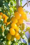 Schließen Sie herauf gelben Kirschtomatenanbau in der Feldbetriebslandwirtschaft Stockfoto