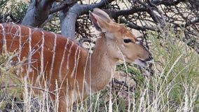 Schließen Sie herauf Gesamtlänge eines Nyala-Mutterschafs, das auf Bürste in der Kalahari-Region von Südafrika einzieht stock video footage