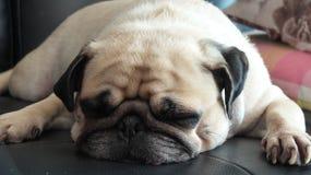 Schließen Sie herauf Gesicht des netten Pughündchens, das im Sofa schläft stockfotografie