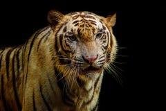 Schließen Sie herauf Gesicht des Tigers auf schwarzem Hintergrund Lizenzfreies Stockbild