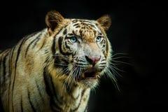 Schließen Sie herauf Gesicht des Tigers gegen dunklen Hintergrund Lizenzfreies Stockbild