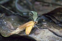 Schließen Sie herauf grüne Ameiva-Eidechse im Dschungel mit hellem gelbem Grassh lizenzfreie stockfotos