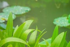 Schließen Sie herauf grüne Blätter mit Seehintergrund am allgemeinen Park Stockbilder