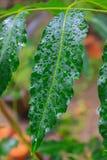Schließen Sie herauf grüne Blatt- und Wassertropfen Stockfotografie