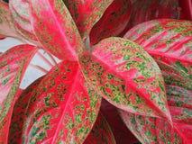 Schließen Sie herauf grüne rote Blatt Caladiumblatt-Betriebsbeschaffenheit in der Natur für Hintergrund Lizenzfreie Stockbilder