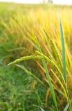 Schließen Sie herauf grünen ungeschälten Reis. Stockfoto