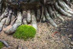 Schließen Sie herauf grünes Moos nah an Baumwurzel auf Sand Lizenzfreie Stockfotografie