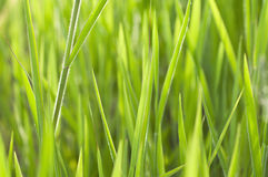 Schließen Sie herauf Gras Stockfoto